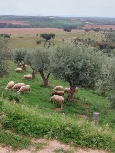 imagem de campo com ovelhas